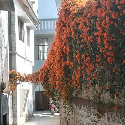 orange flowers rishikesh street