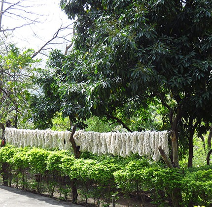 raw cotton drying